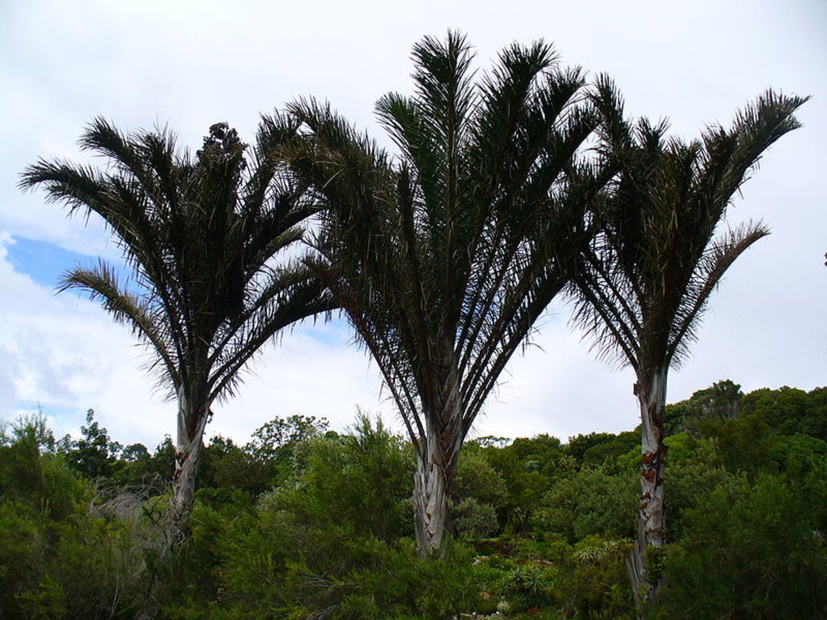 Raffia palms are a genus of twenty species of palms, native to tropical regions of Africa,