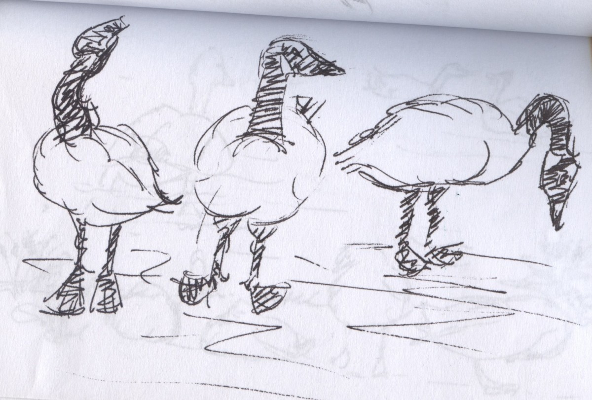 Wildlife rarely stands still, so sketches need to be swift and decisive. This is one of Canadian Geese.