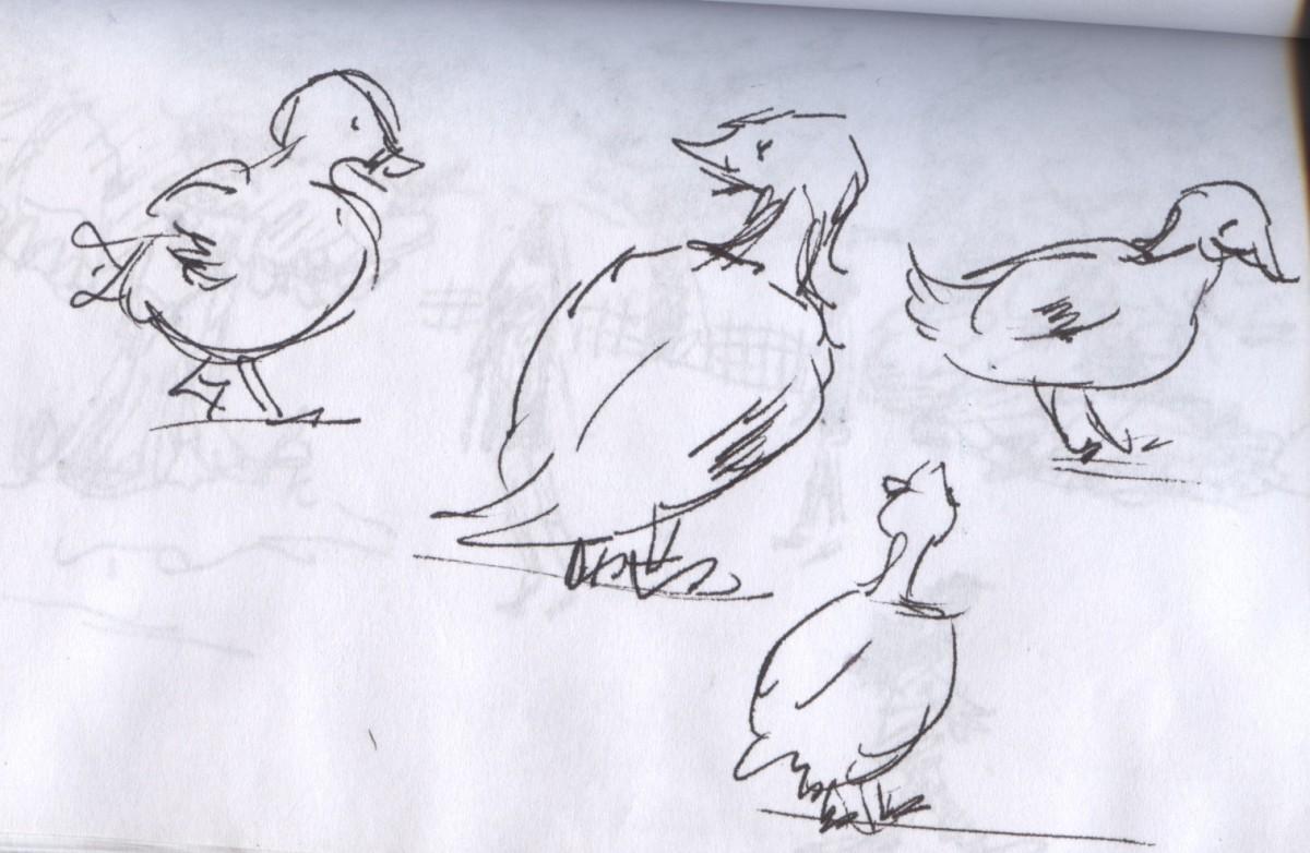 Ducks rarely stand still!
