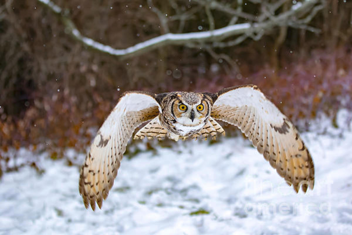 Photograph of a Great Horned Owl flying at you in a snowstorm.