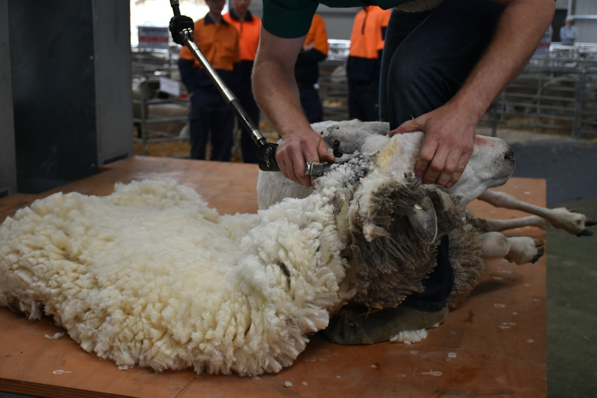 Shearing in progress
