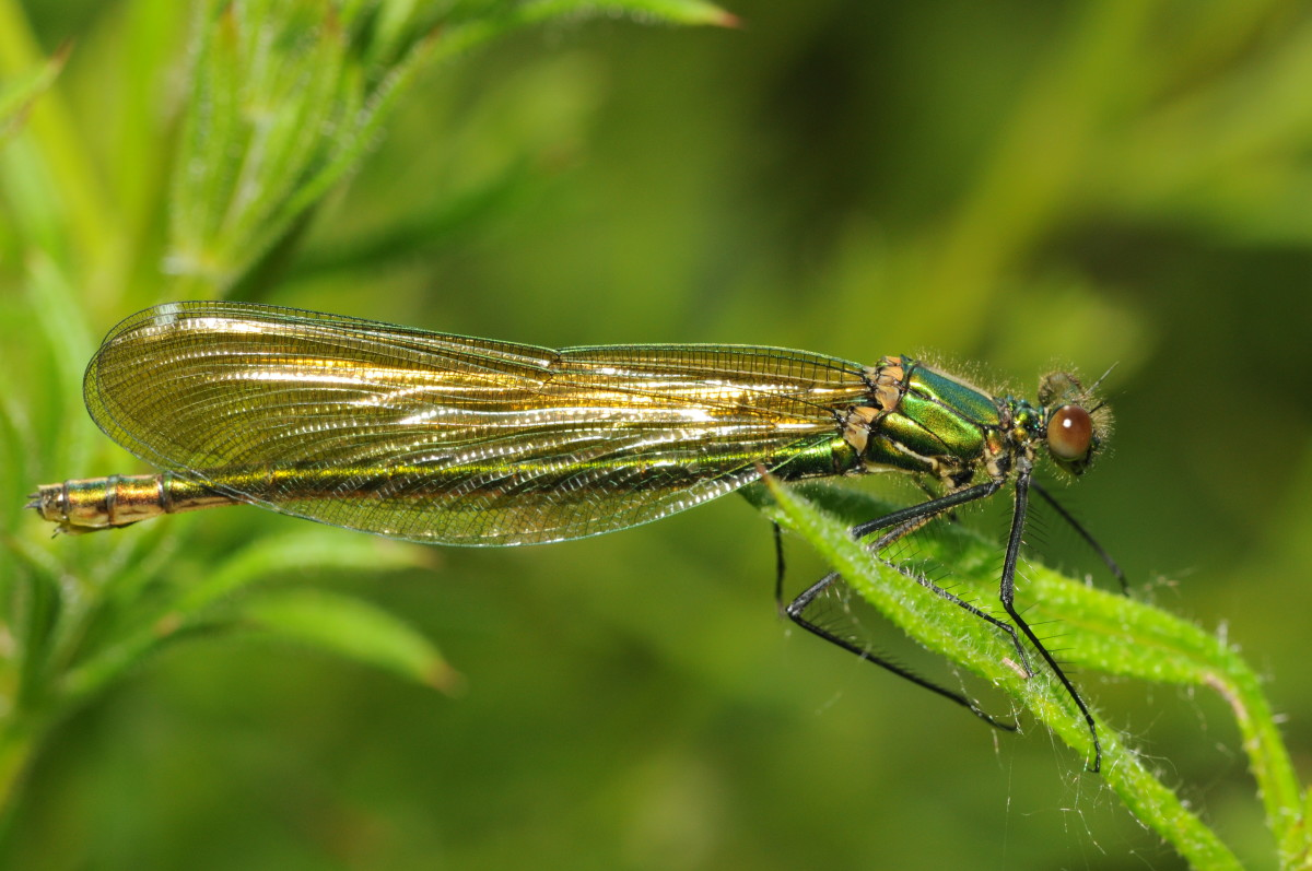 Demoiselle, dragonfly, female