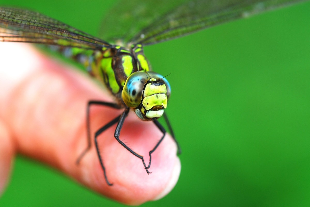 Getting acquainted with a Dragonfly.  A photo shoot with a dragonfly