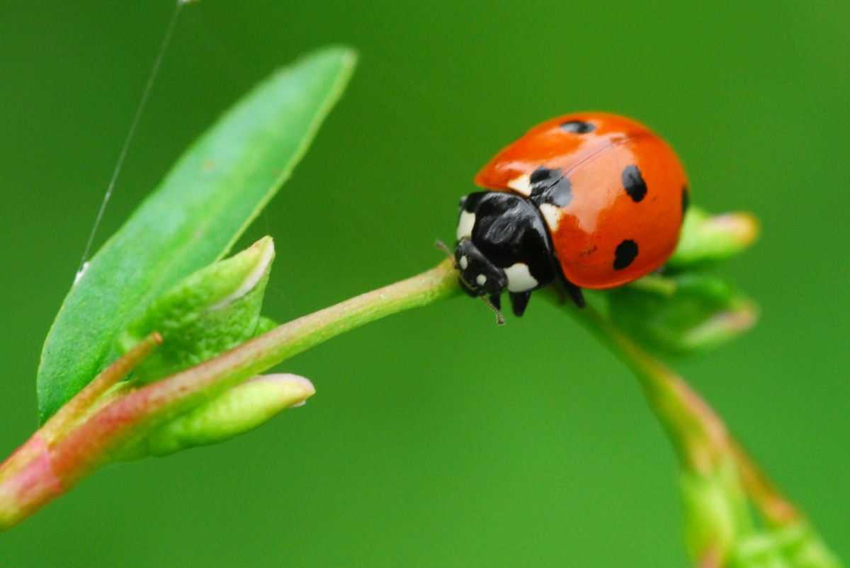 Ladybird searching for aphids