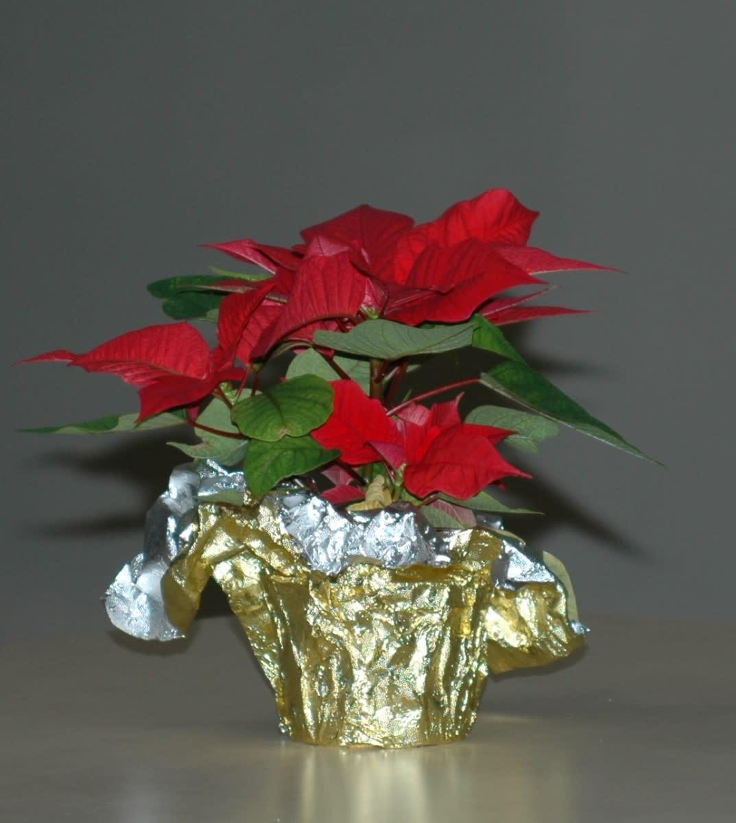 Poinsettias make the perfect gift!