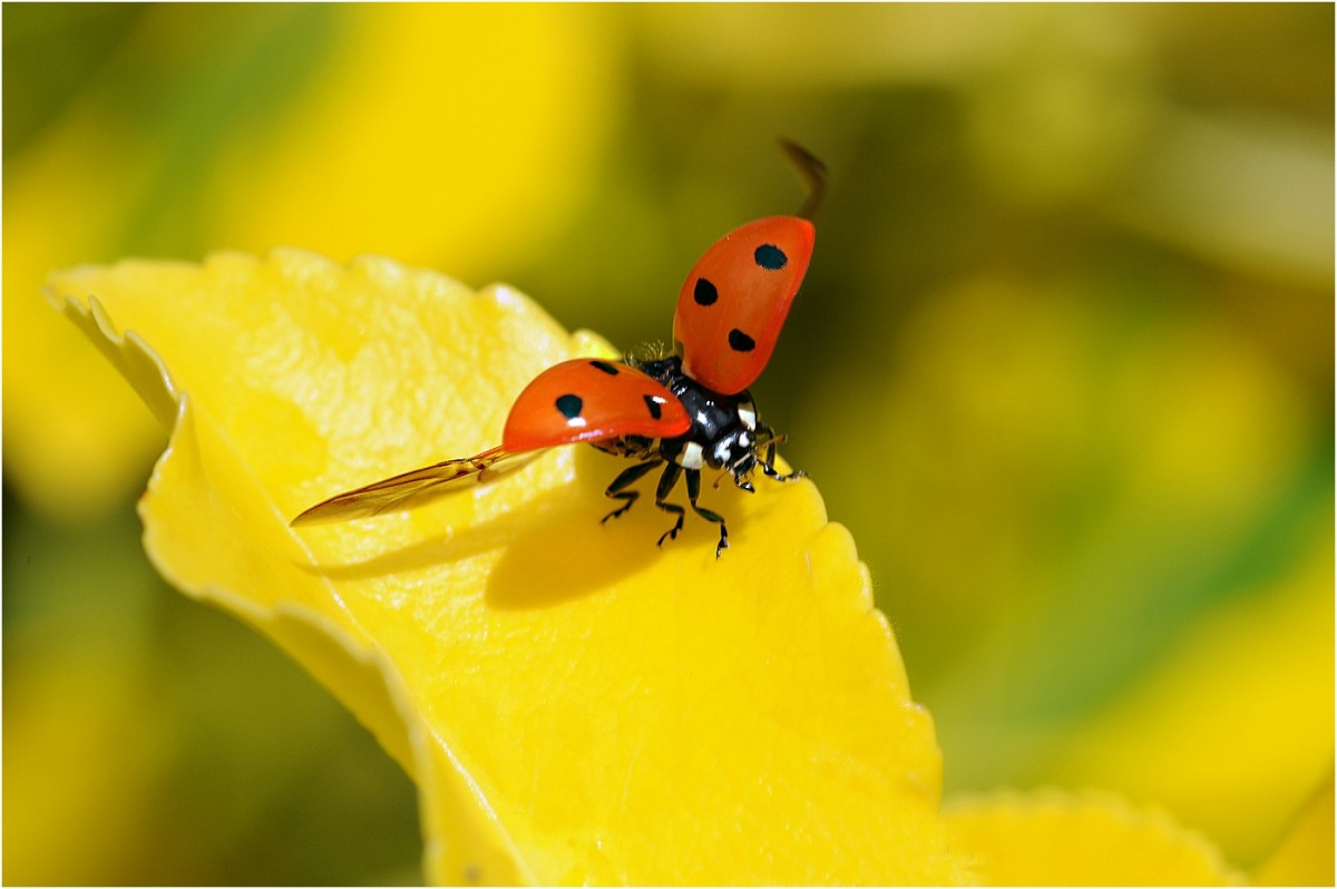 Study the habitat first; your success will depend on it. Here is a ladybird taking flight.