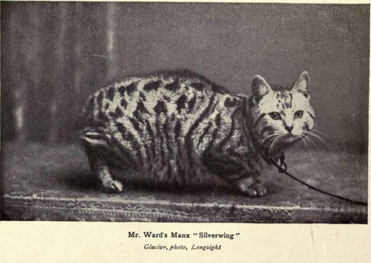A Manx cat, characteristically intelligent and companionable - and no tail.