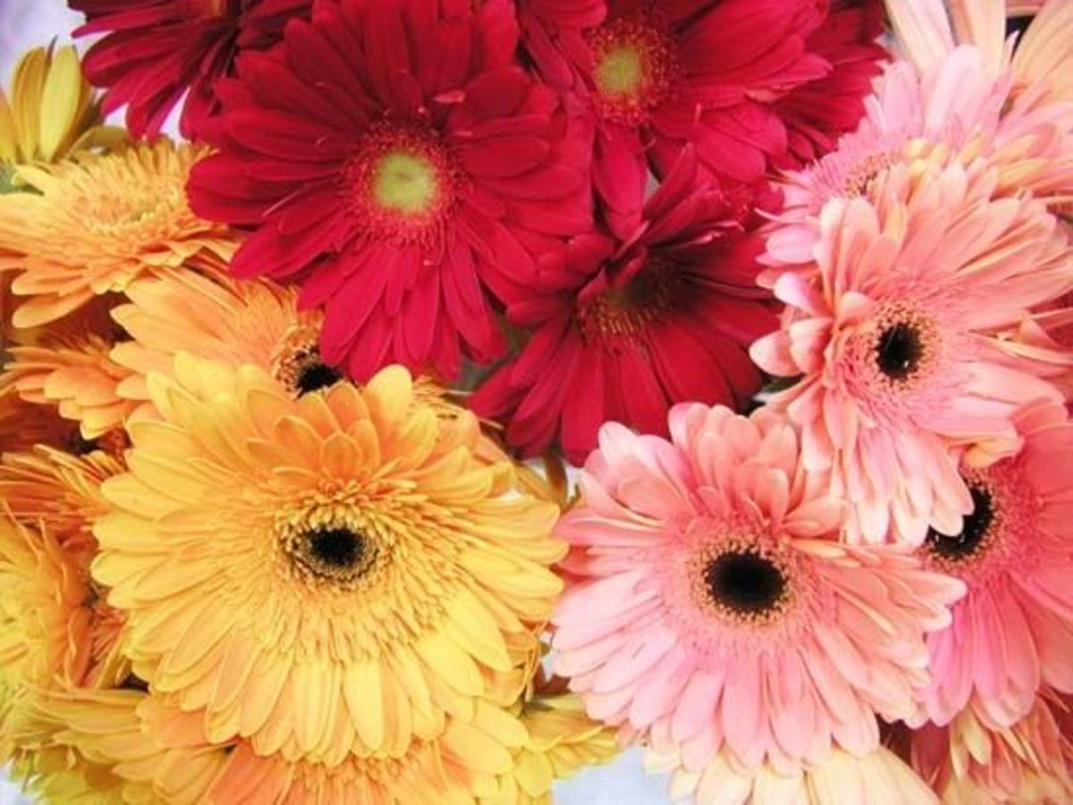 Sunset colors of gerbera daisies