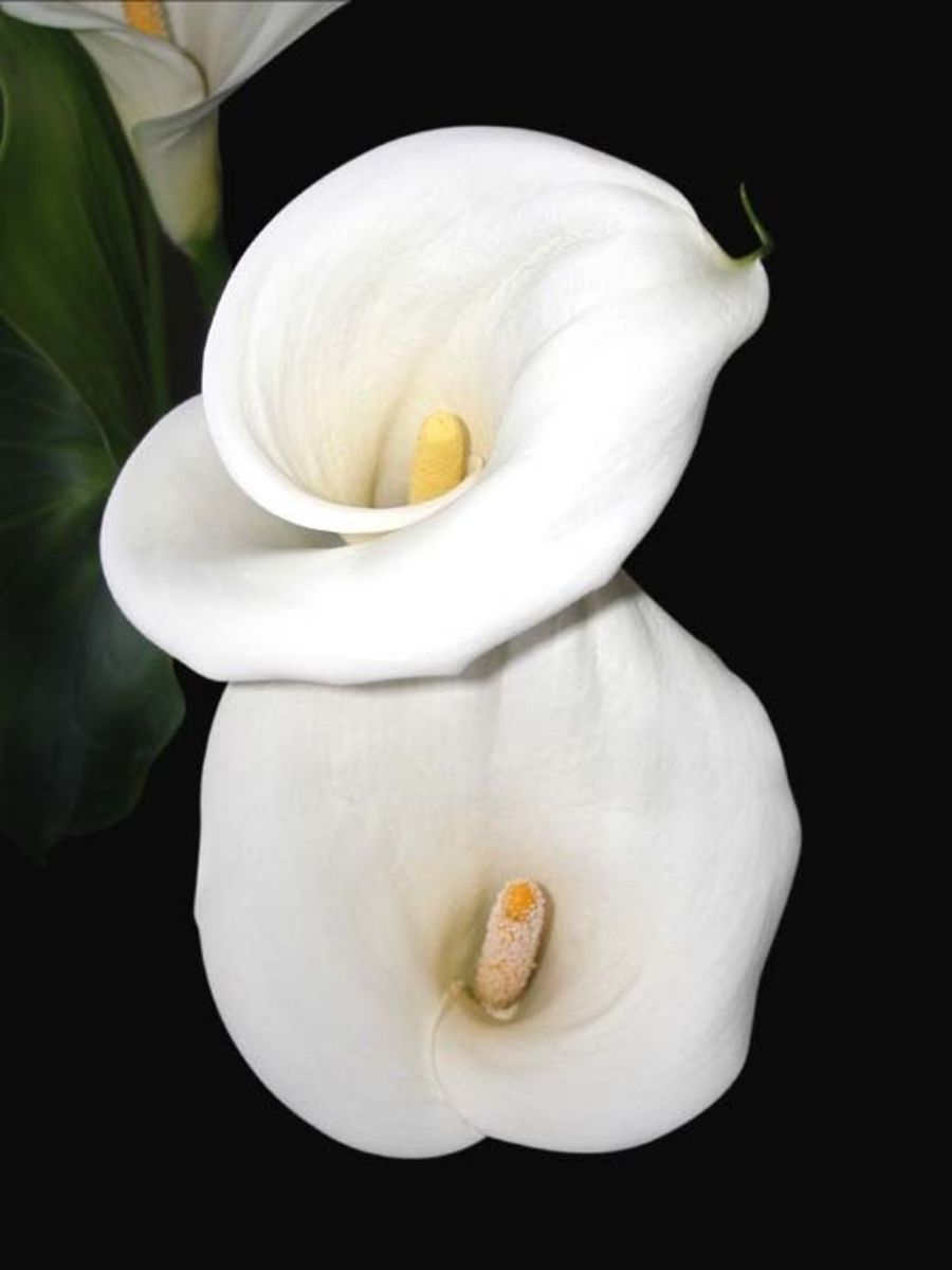 Two shapely calla lilies