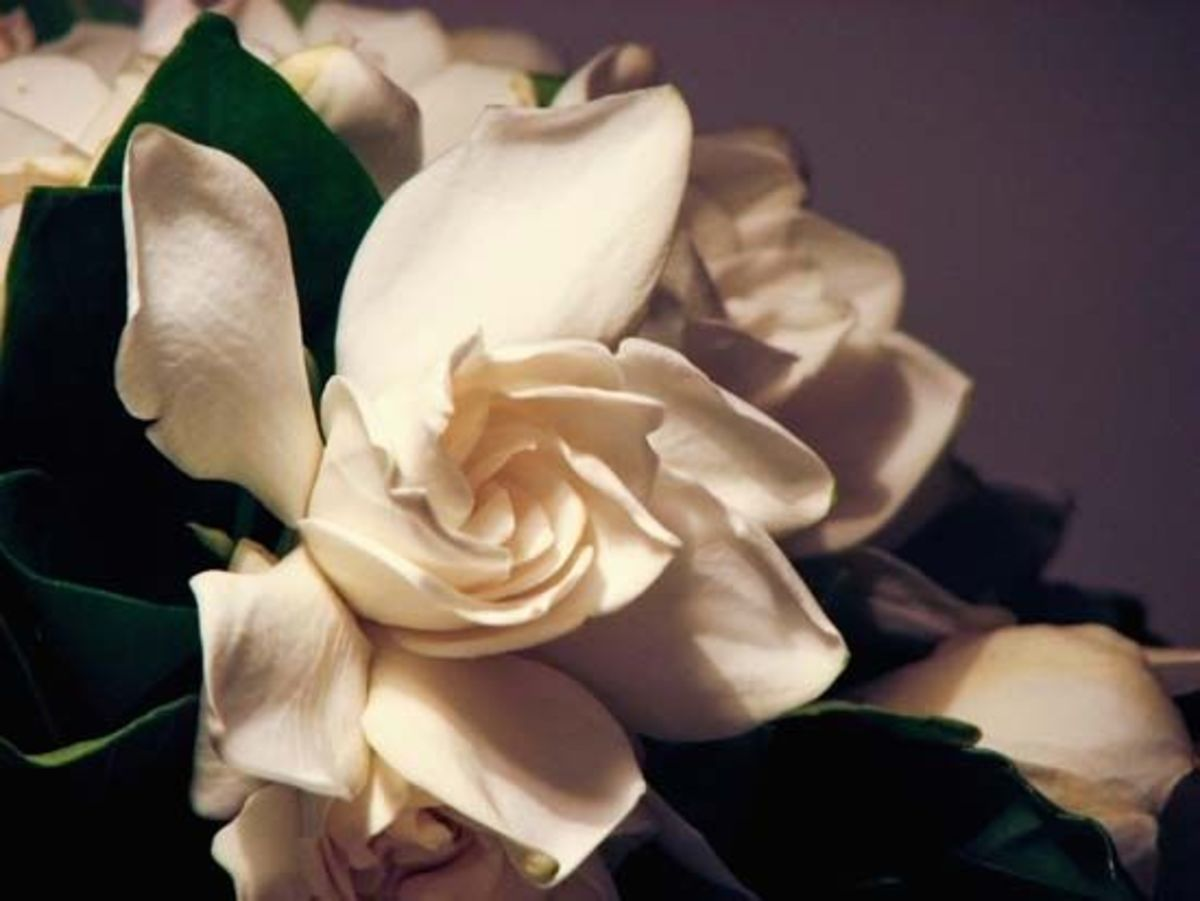 Close-up of gardenias in bloom
