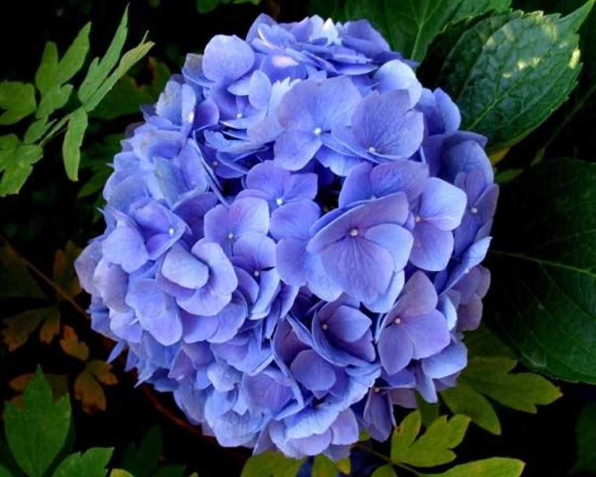 A beautiful blue hydrangea