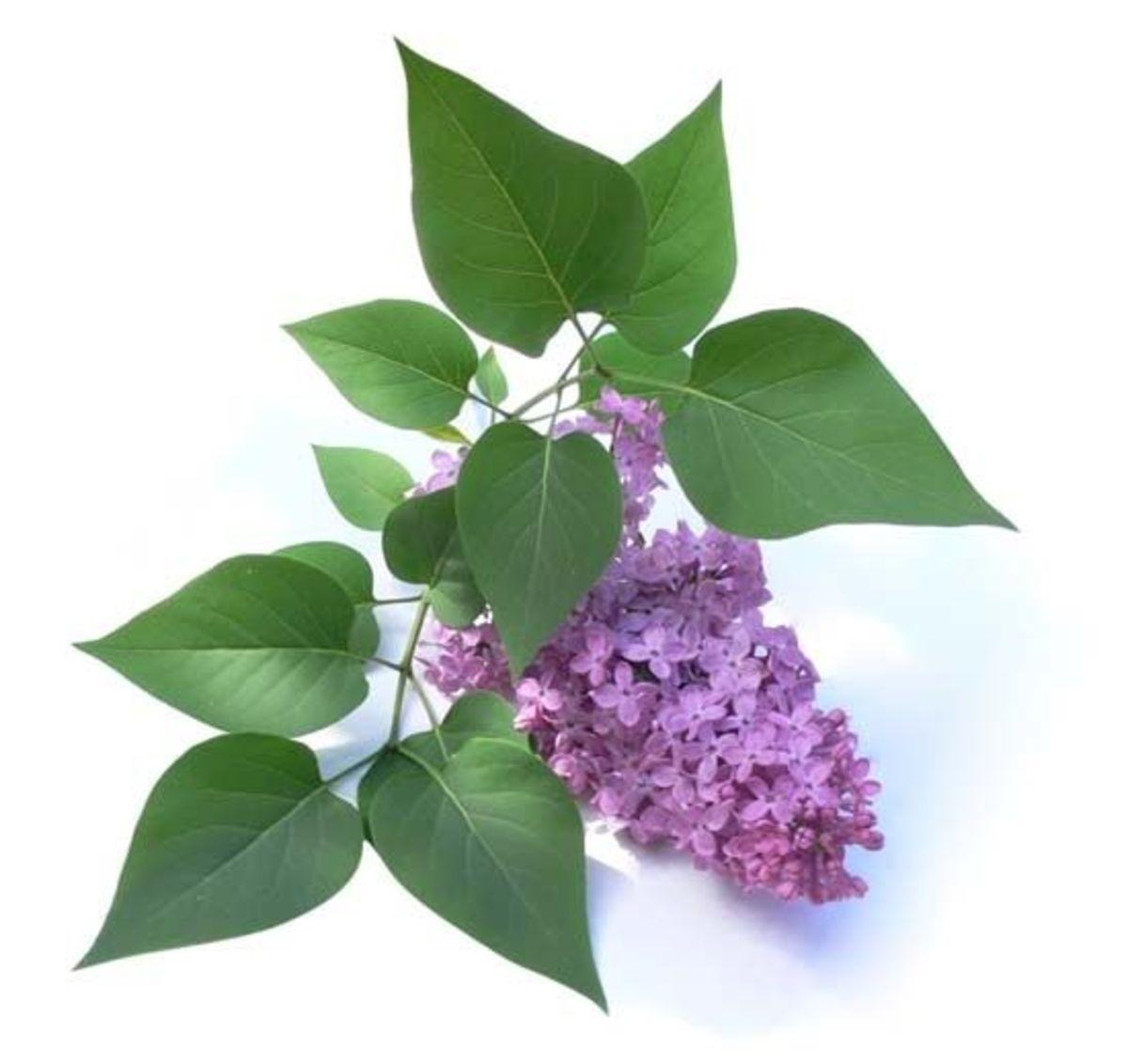 Delicate lavender lilacs