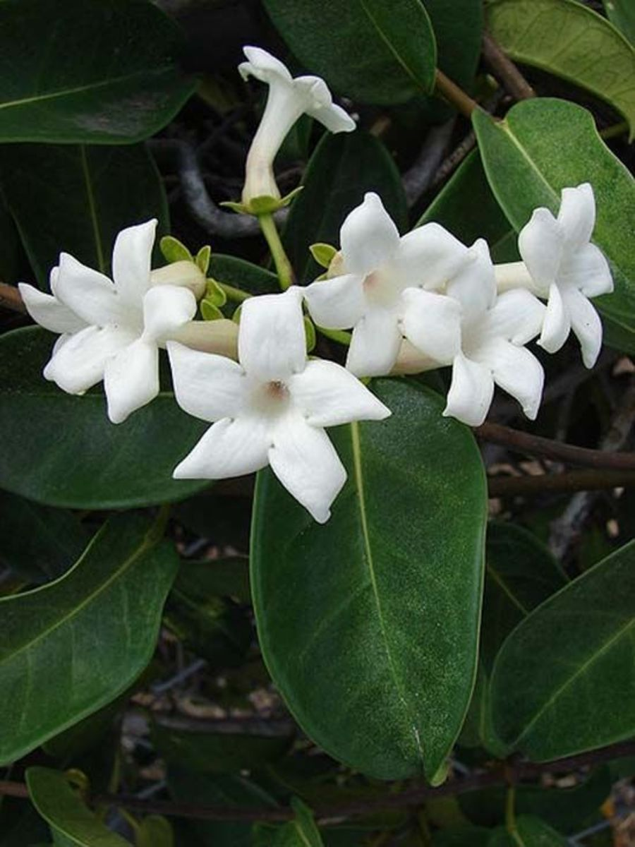 Delicate and dainty stephanotis