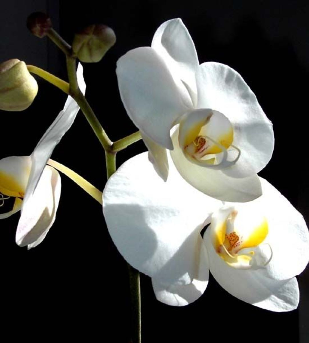 Lovely white orchids are much more sturdy than you may suppose.