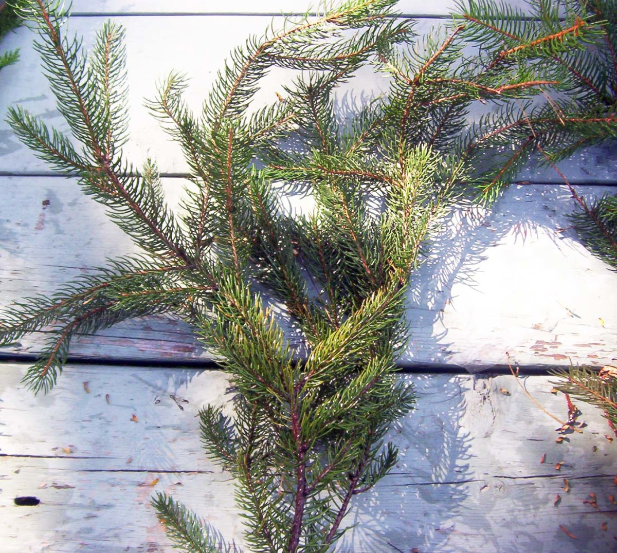 Balsam fir is the quintessential aroma of Christmas. Fir twigs and branches retain their scent for a long time after cutting.