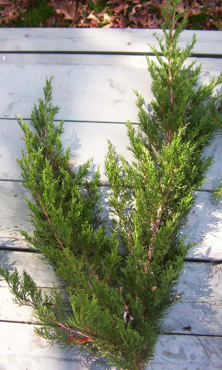 Juniper branches add fullness to a wreath because of their dense foliage.