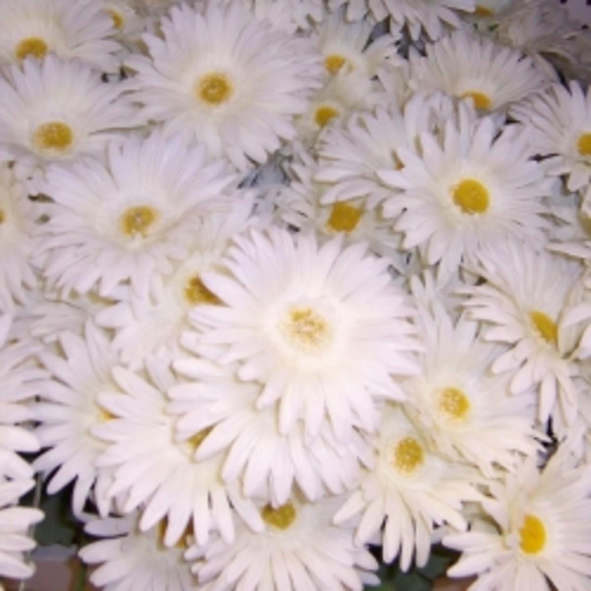 White silk gerbera daisies
