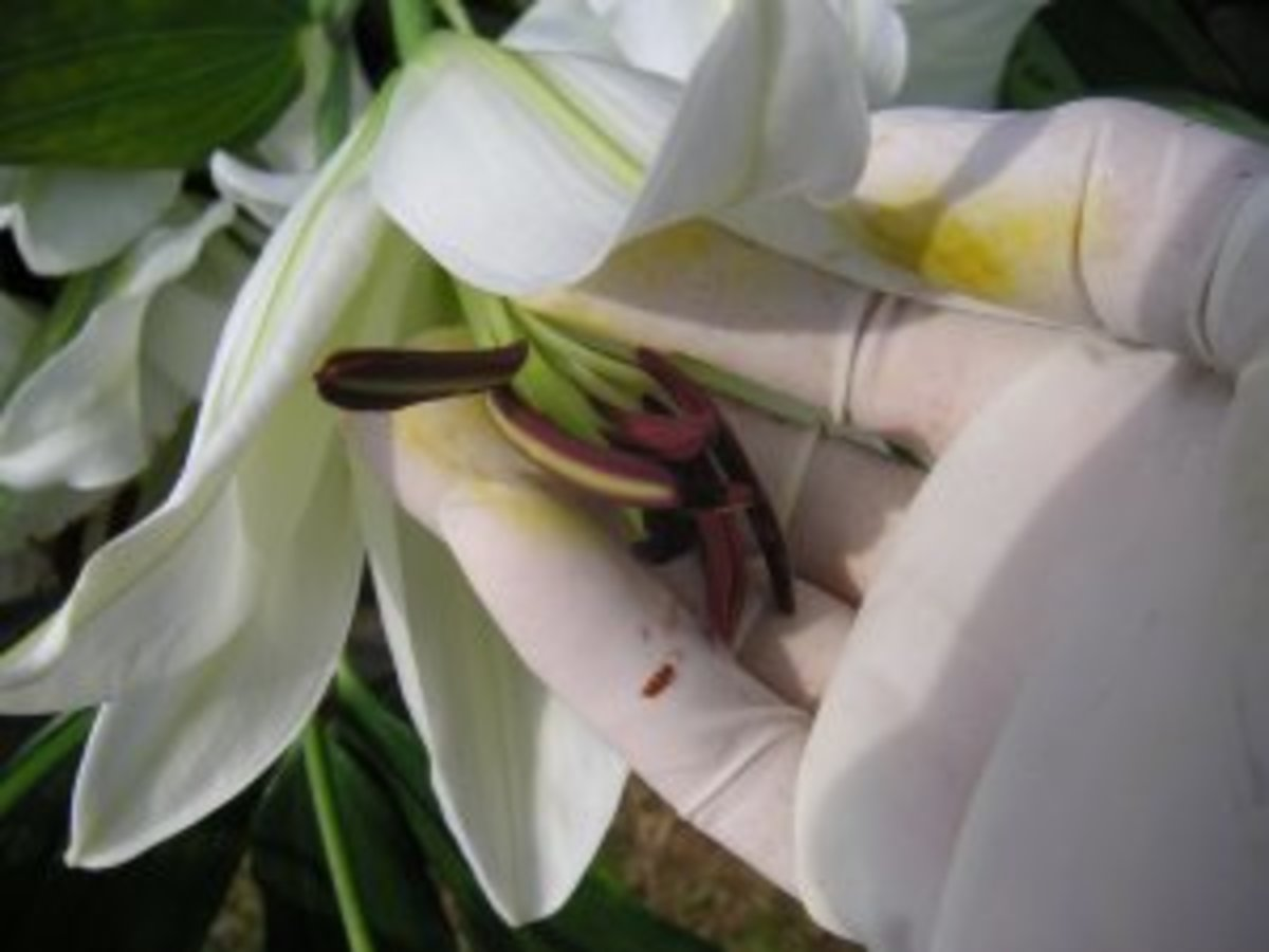 Lilies are hardy, but take care to remove the messy pollen before arranging in a centerpiece.