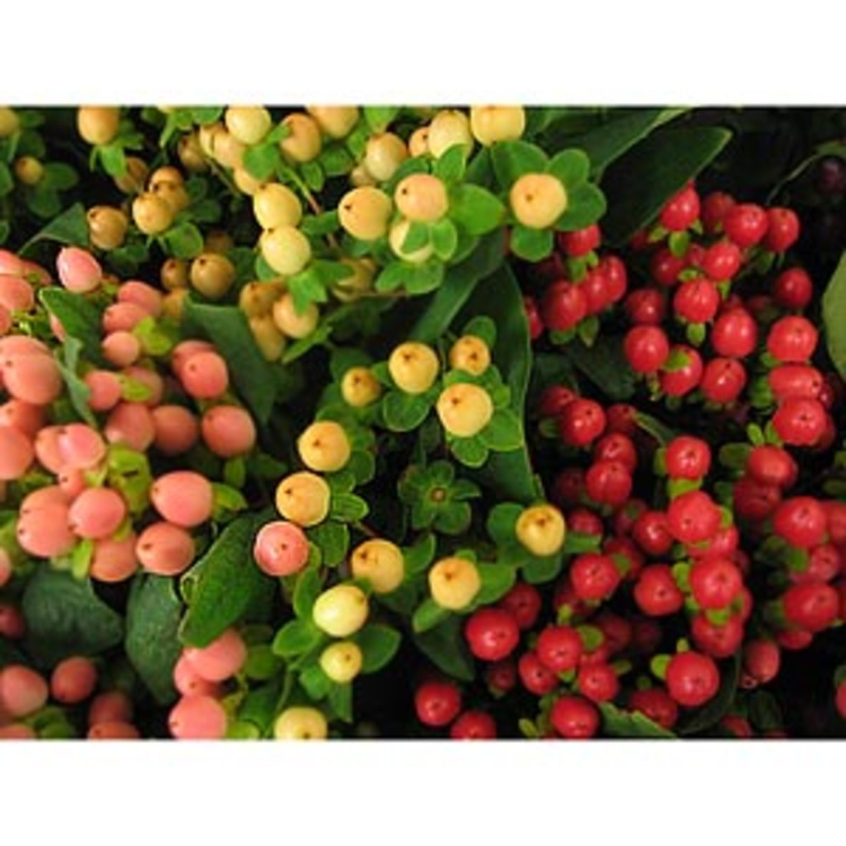 Did you know you could get such beautiful hypericum berries from a place like Costco or your local supermarket?