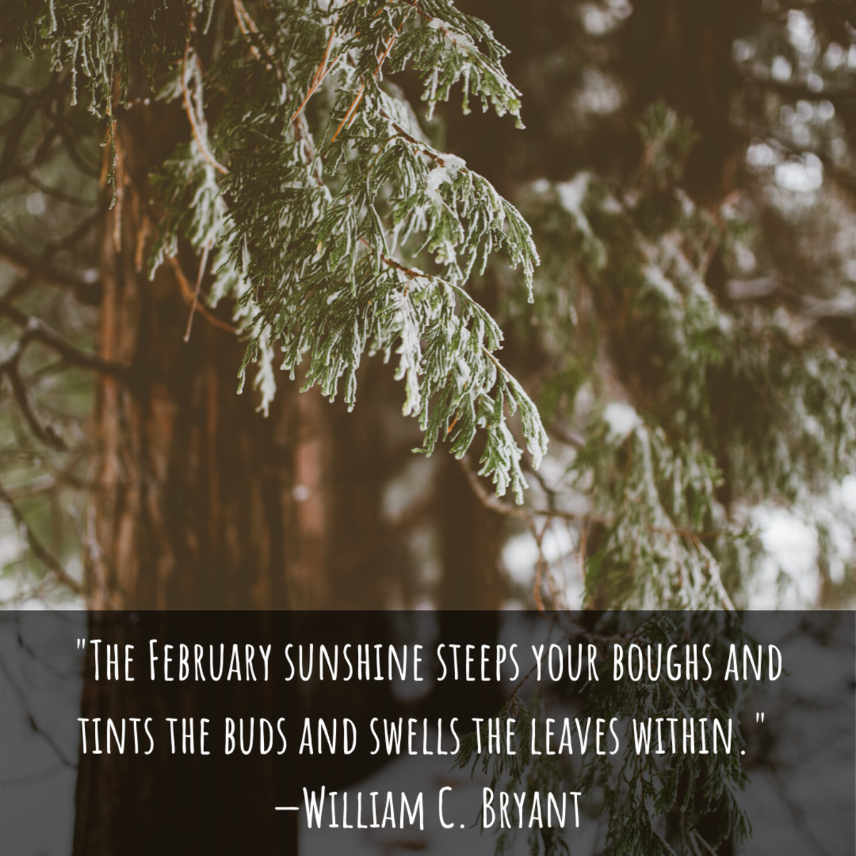 """The February sunshine steeps your boughs and tints the buds and swells the leaves within."" —William C. Bryant"