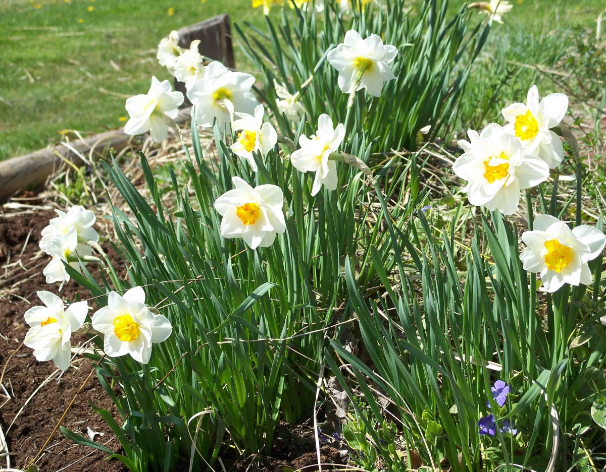 Daffodils are always a sure sign of spring.