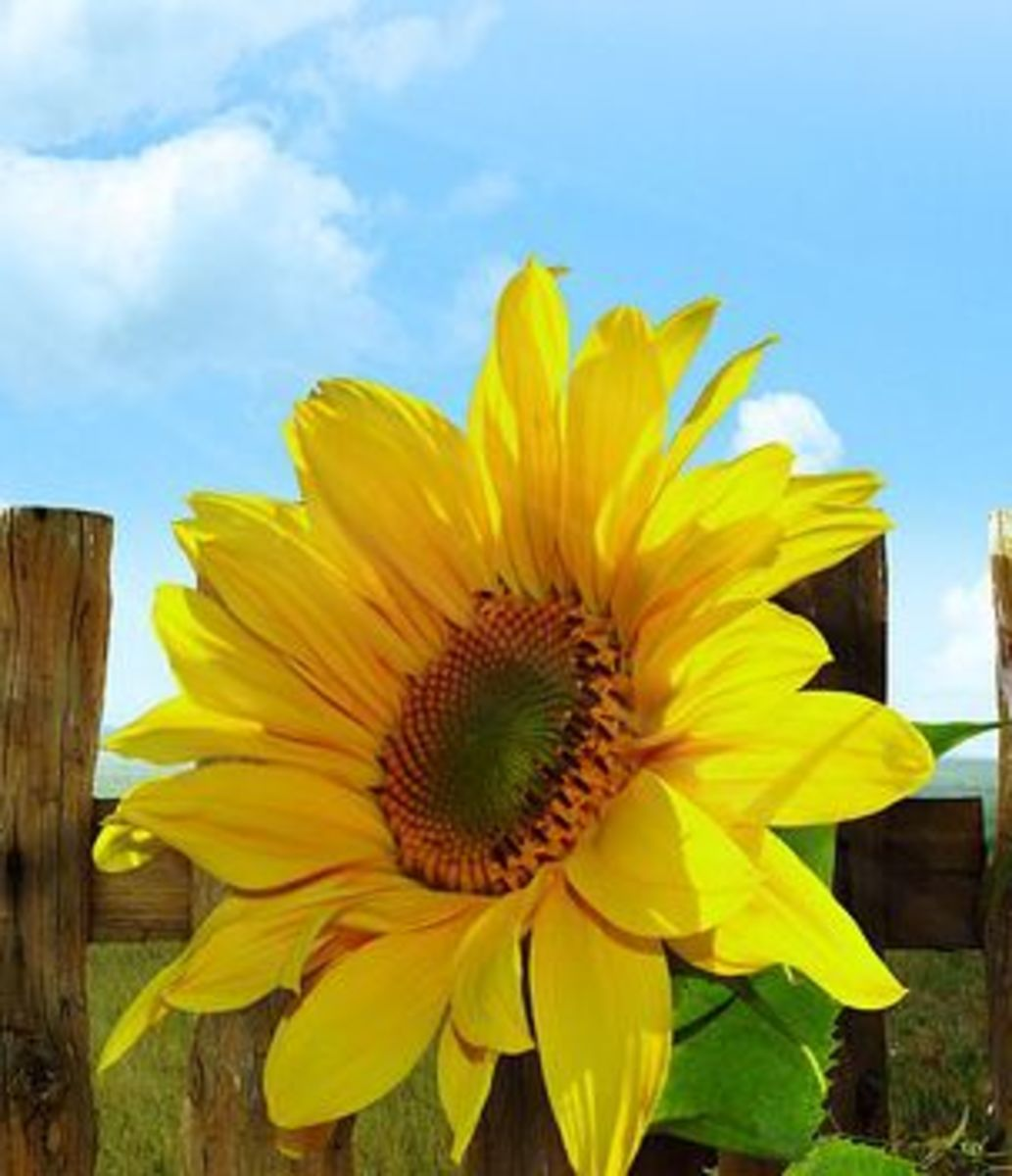 Sunflower against a fence and blue country sky.