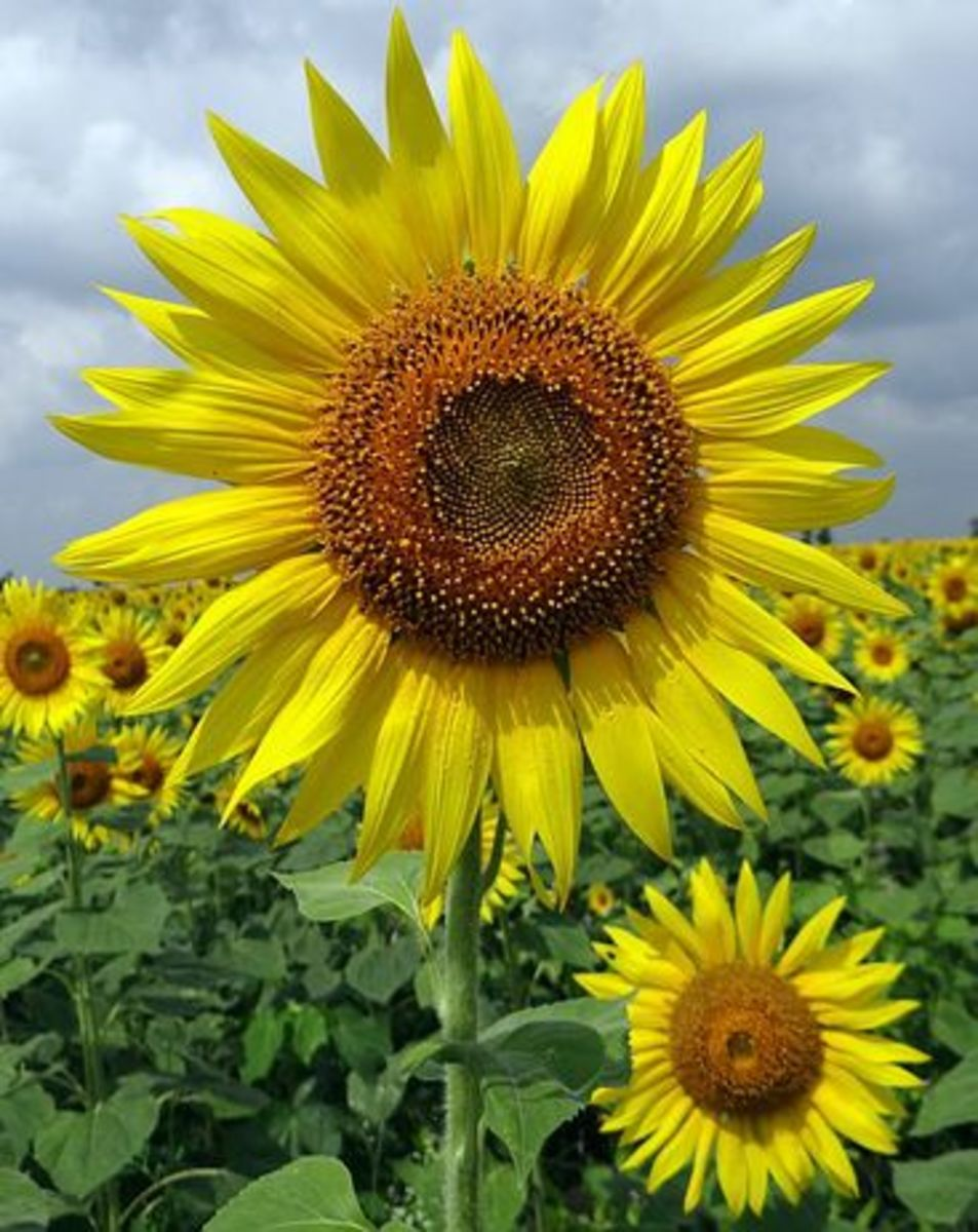 Sunflower in field of flowers
