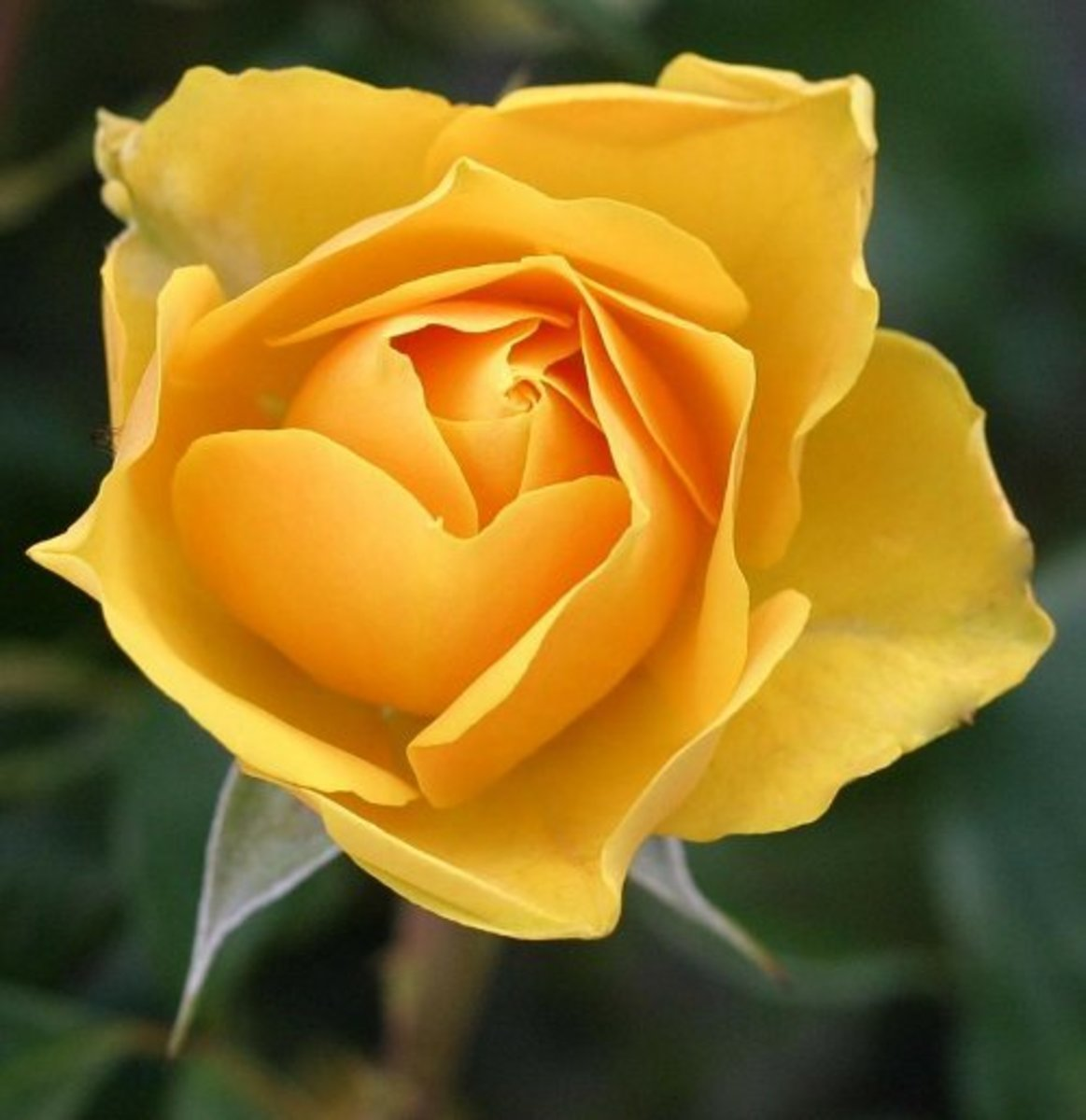 Single golden yellow-orange rose flower.