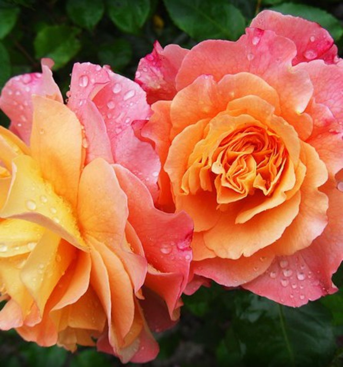 Orange-colored roses in bloom.