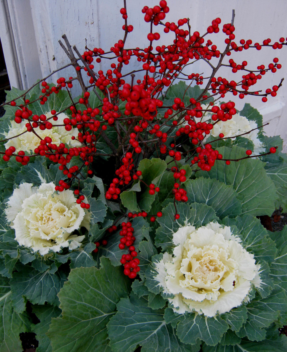Winter Berries and Ornamental Kale