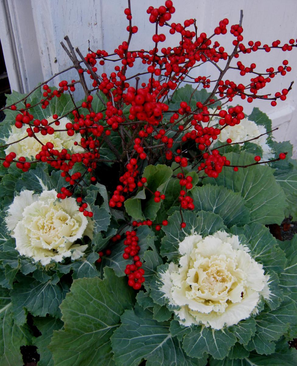 Winter Berries and Ornamental Kale