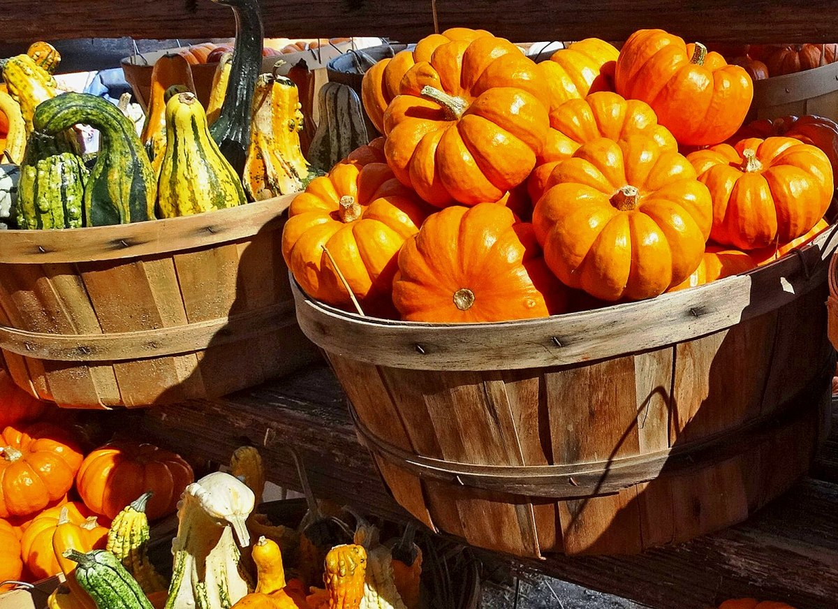 Pumpkin for the pie that crowns the meal