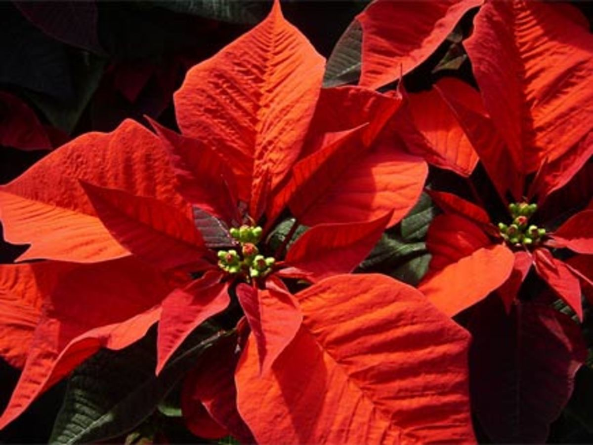 The Poinsetta flower comes from Mexican Christmas tradition. In Mexico it is known as the 'flor de noche buena'.