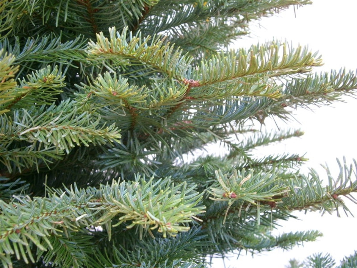 Noble fir and Douglas fir--free for the taking at Home Depot or any pinery.