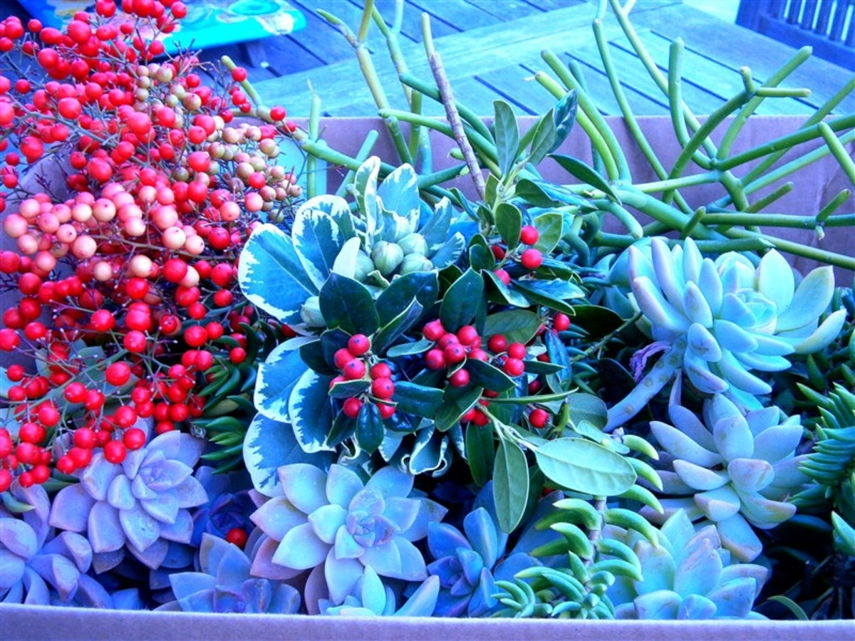 I went to my friend's yard and looted all these Christmassy greens, with her blessings--free !