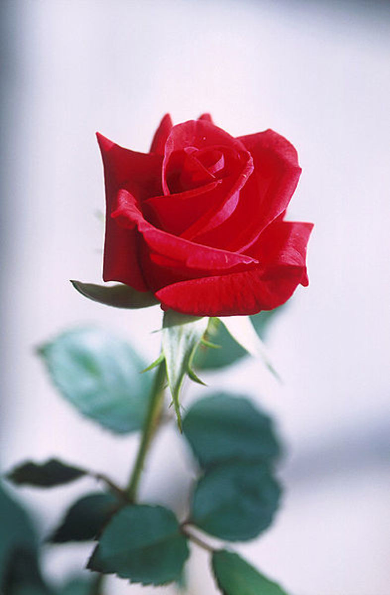 Give your sweetheart something different from the rest with an original roses are red poem.