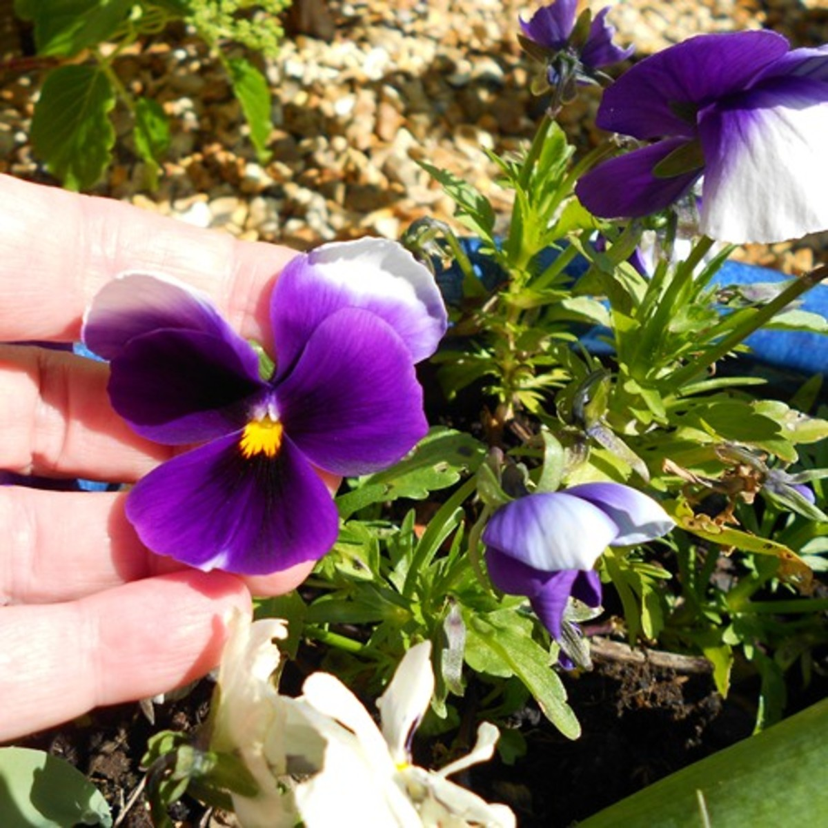The beautiful pansy flower is well-known for its charm.