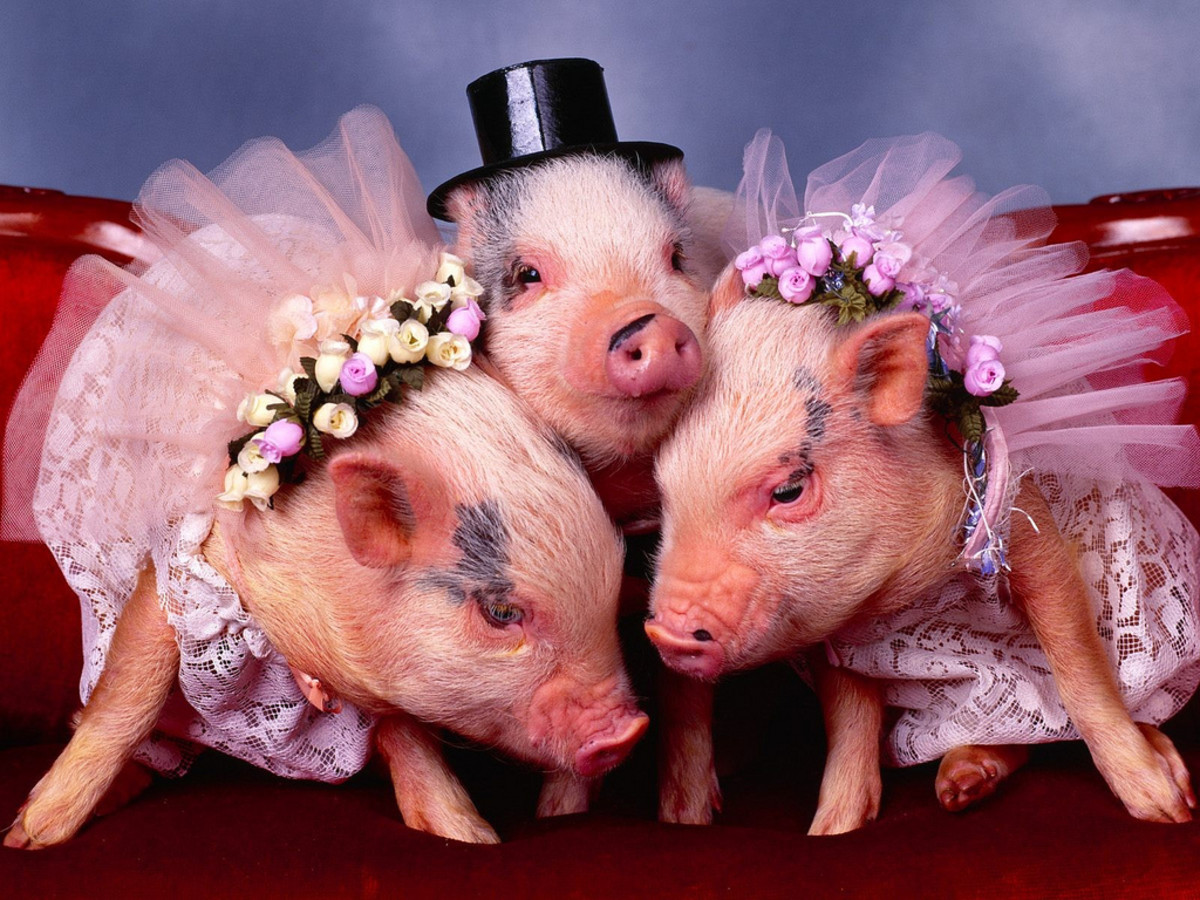 Pigs fall in love easily but are prone to jealousy.