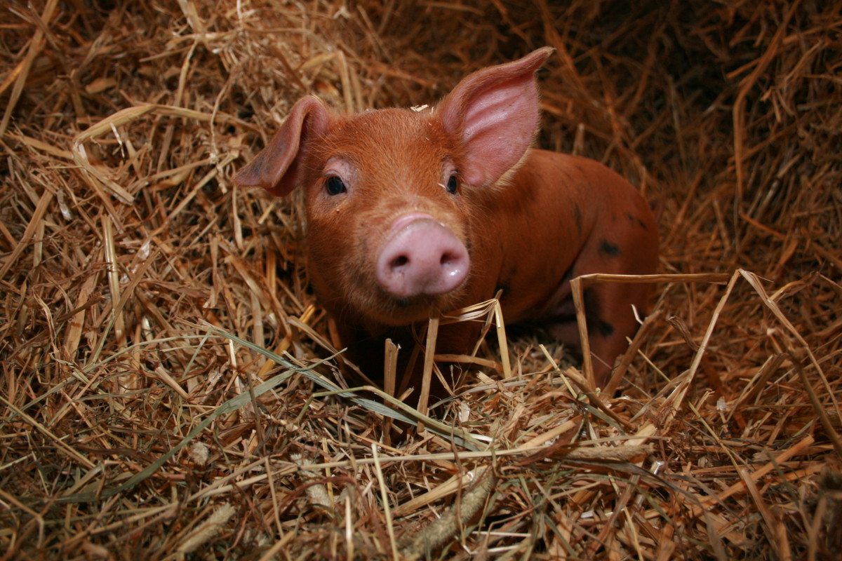 Pigs are cheerful, honest, stubborn, and secretive.