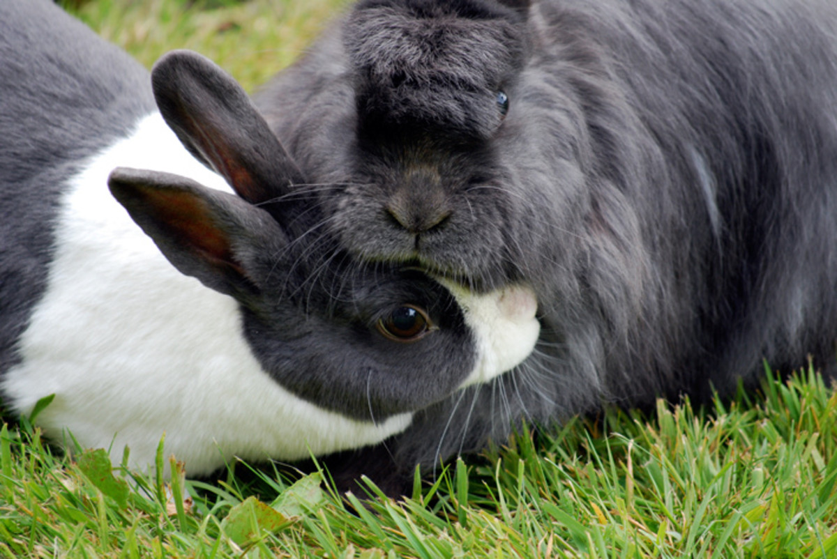Bunnies do best in pairs, and must be neutered in order to do so. Neutering can be complex with rabbits, and this further complicates pet ownership for those wishing to obtain a rabbit or rabbits for Easter.