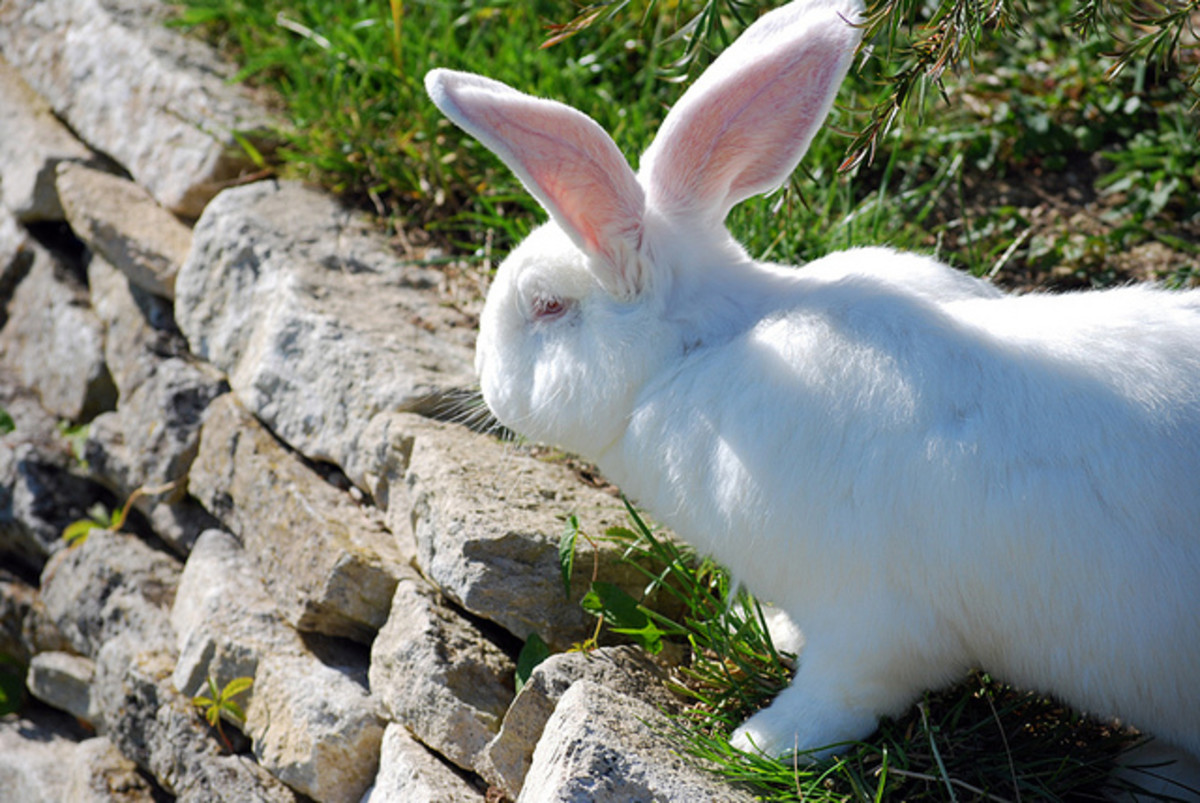 Rabbits may live into their teens. They aren't short-lived pets and require a serious commitment on the part of their owners. Like any pet, they are for life!