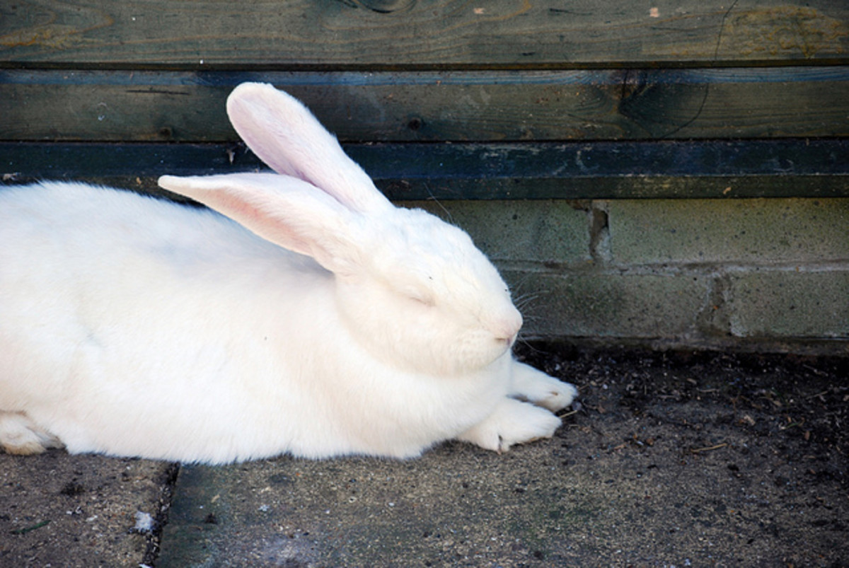 Rabbits, like this pretty white bunny, require specialized veterinary care.