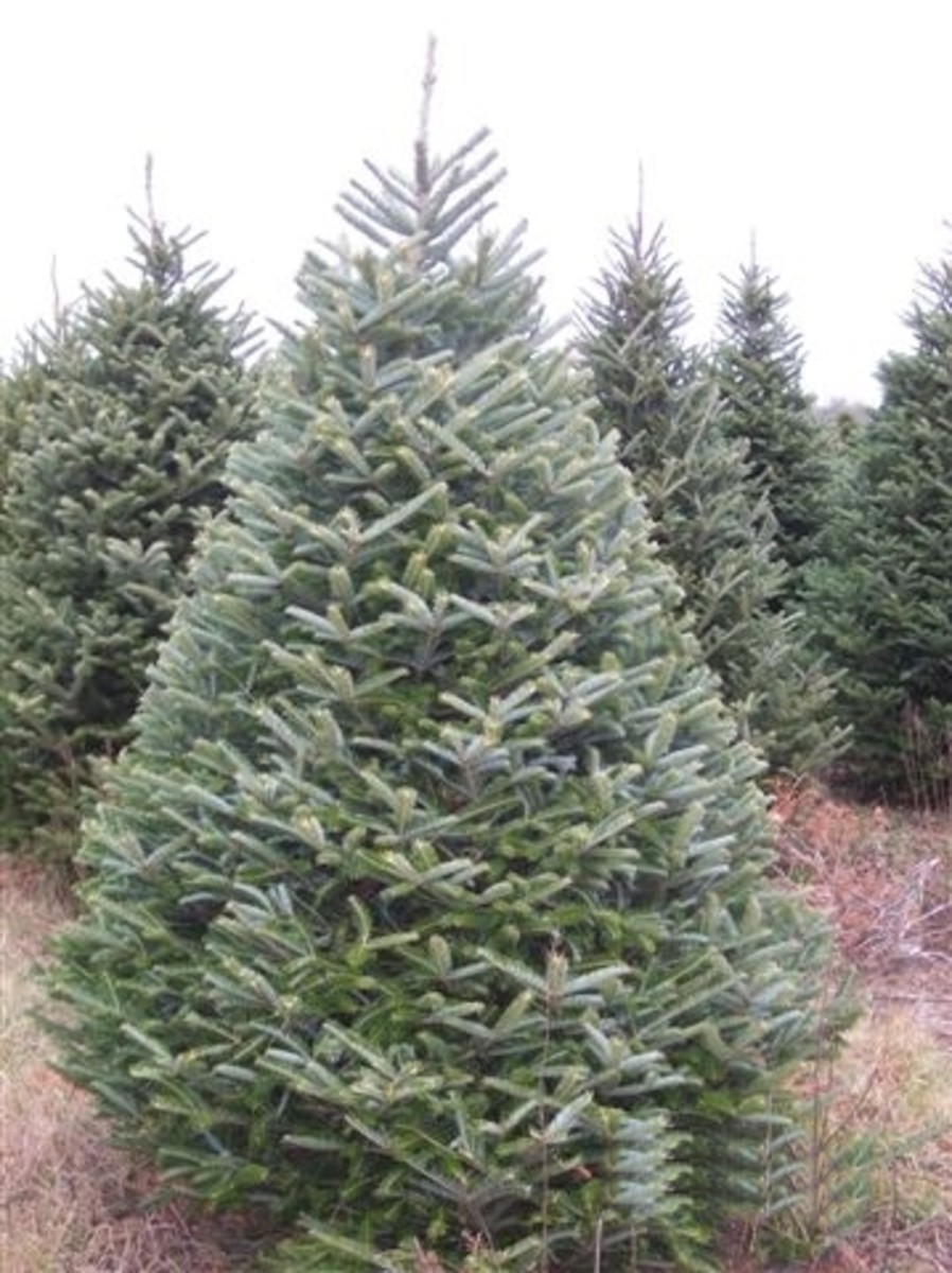 Type Of Christmas Trees.Types Of Christmas Trees Holidappy