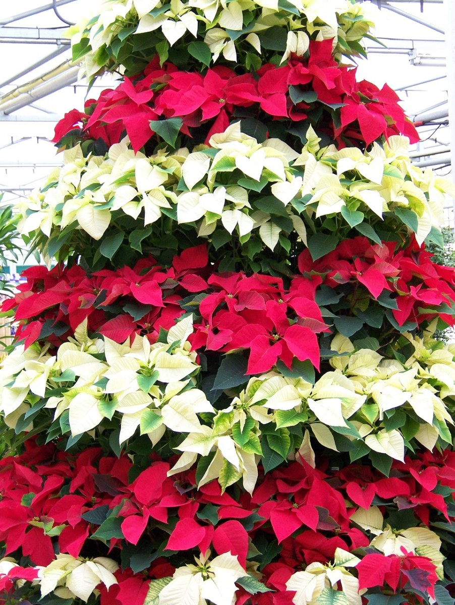 An artful arrangement of pointsettias makes a lovely focal point for your home if you don't have a Christmas tree this year.