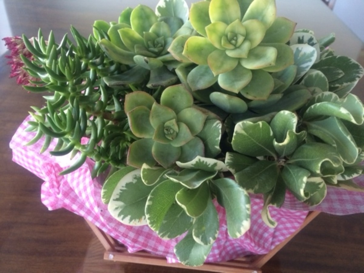 Succulents look naturally beautiful, with or without flowers.