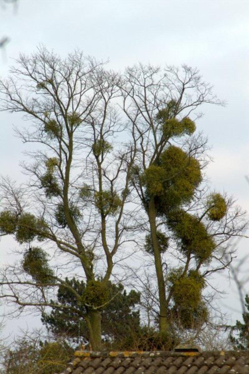 Tree parasitized by mistletoe
