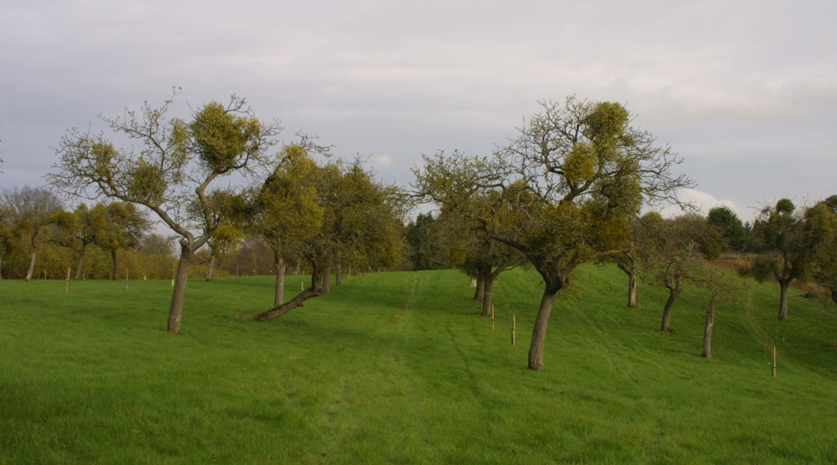 An apple orchard, past its prime, is now used to grow a crop of mistletoe.