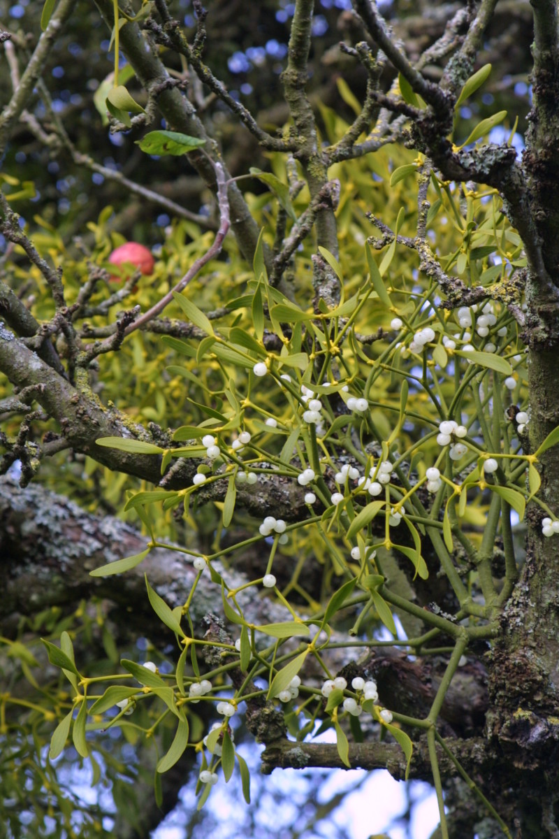 A mistletoe plant making its home in an apple tree