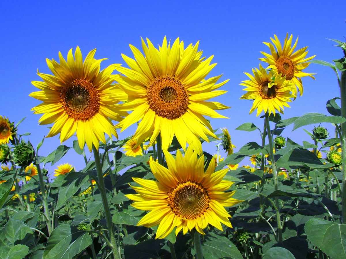 Bright yellow sunflowers are as bright as the summer sun.