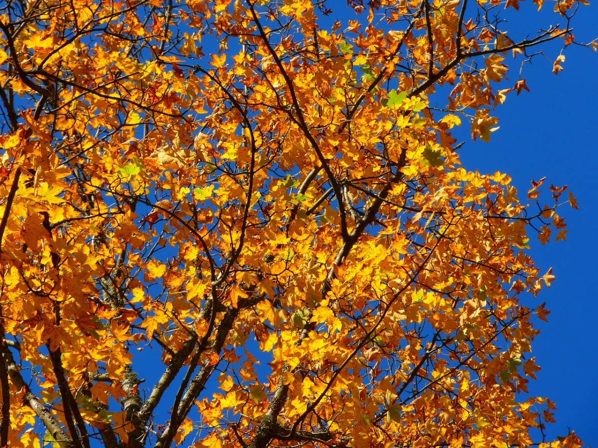 The leaves turn many shades of gold, red, and orange in the fall.